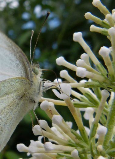 cabbage white butterfly in close up