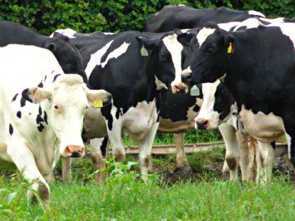 house kites cows ani 016