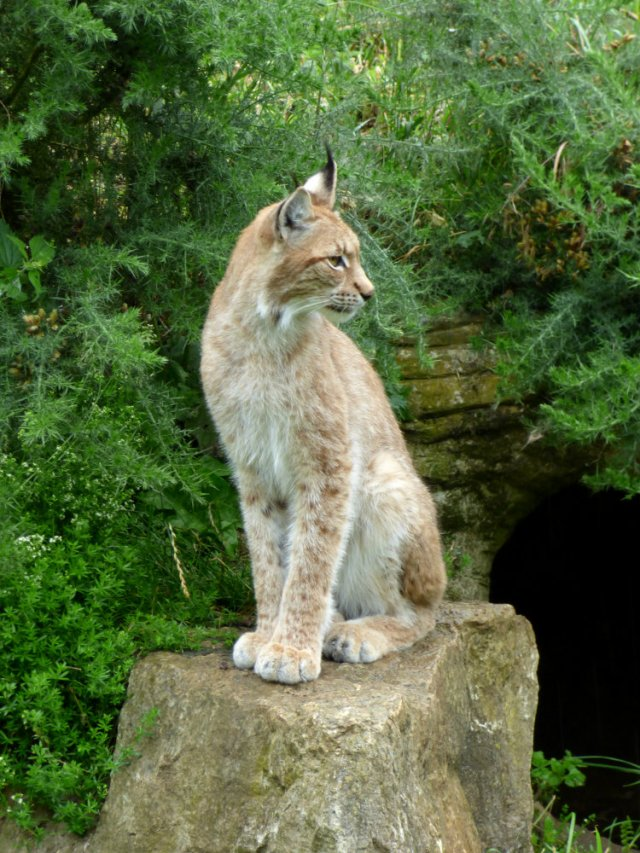 lynx (5)