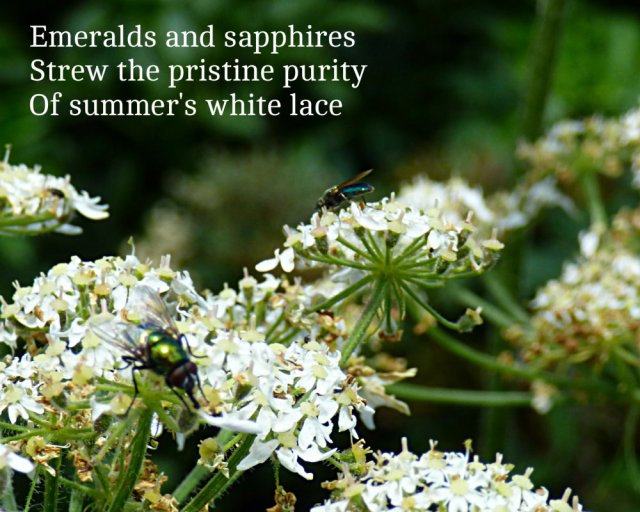 Emeralds and sapphires Strew the pristine purity Of summer's white lace