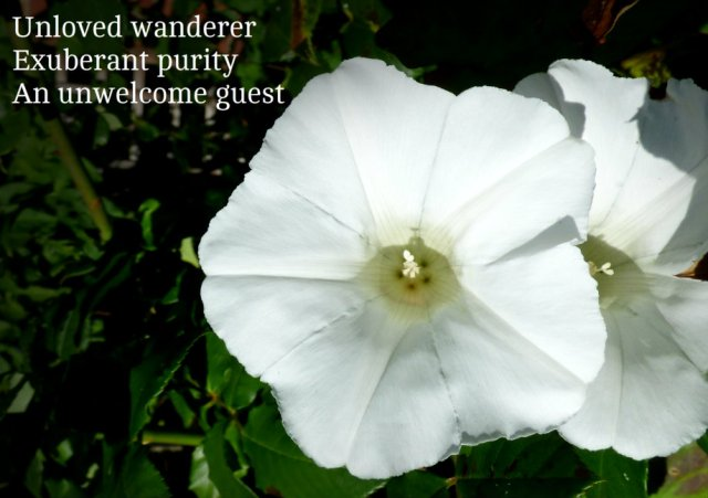 Unloved wanderer Exuberant purity An unwelcome guest