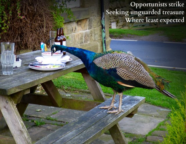 peacock eating from picnic table: Opportunists strike, seeking unguarded treasure when least expected