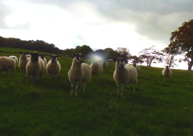 sheep-hordrons-nine-stones-robin-hoods-328