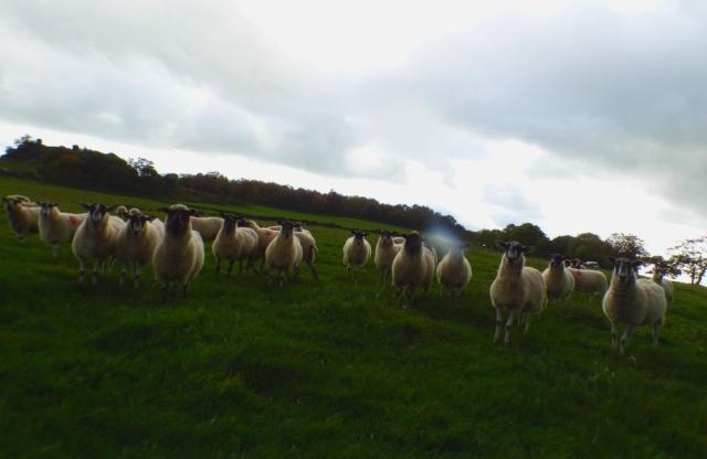 sheep-hordrons-nine-stones-robin-hoods-329