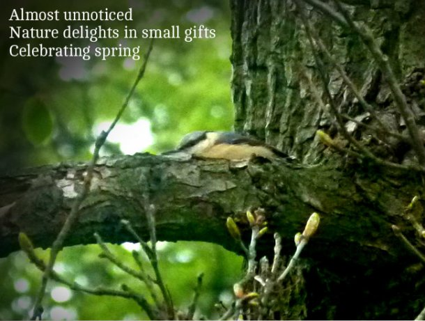 photograph of a well hidden nuthatch in a spring tree