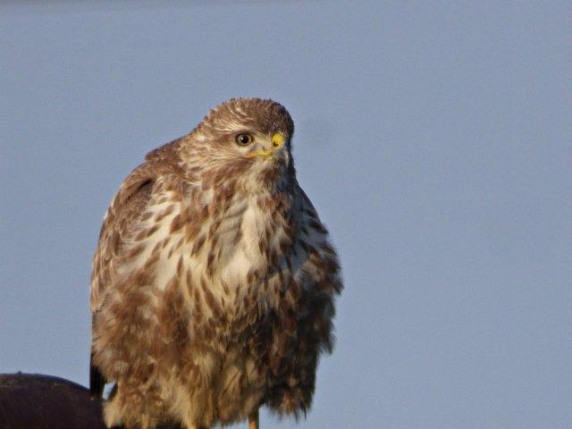 buzzard-1