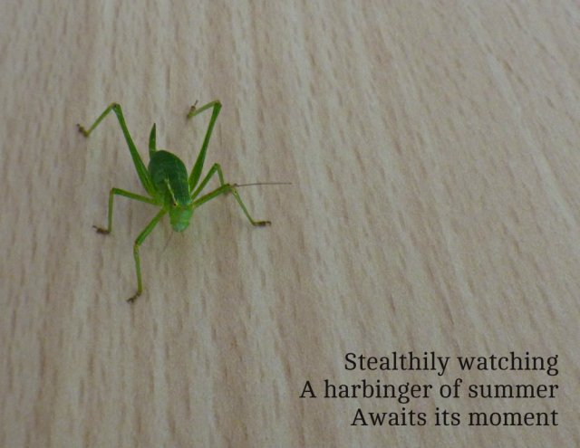 grasshopper-in-the-kitchen-stealthily-watching-a-harbinger-of-summer-awaits-its-moment