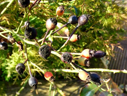 rose-hips-decaying