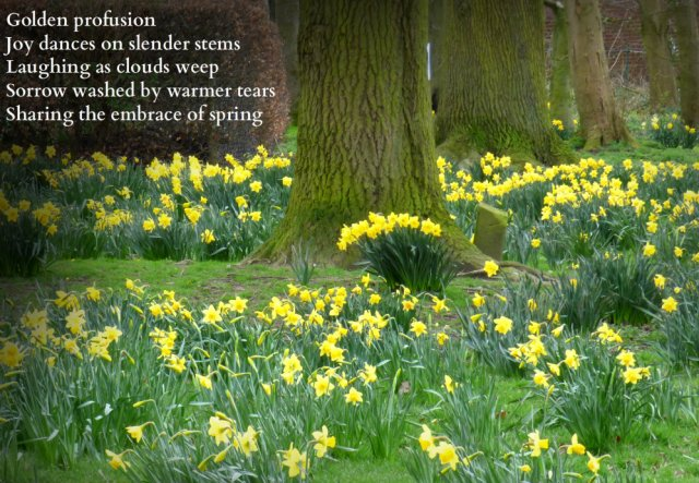 Golden profusion Joy dances on slender stems Laughing as clouds melt, sorrow washed by warmer tears, sharingthe embrace of spring