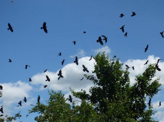 corvids