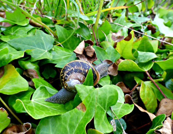 snail on ivy leaves