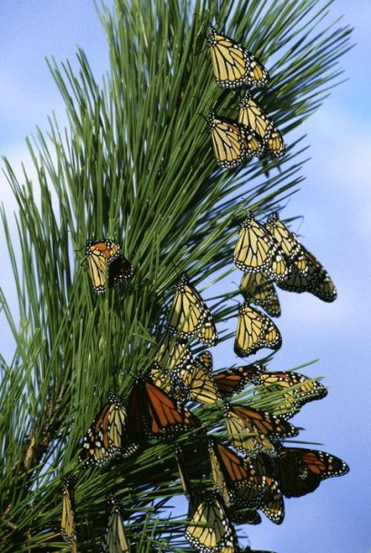 Monarch_butterfly_migrationL