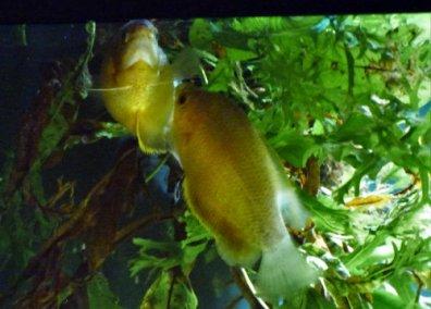 two gourami fish