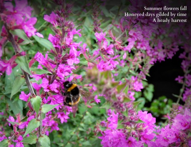 bee on loosestrife