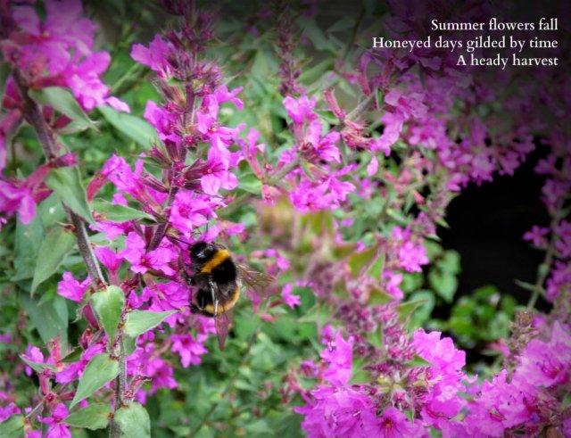 bee on loosestrife