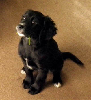 Ani as a puppy, lookng alert and eager to please, but with the evidence of illicit gardening in her mouth.