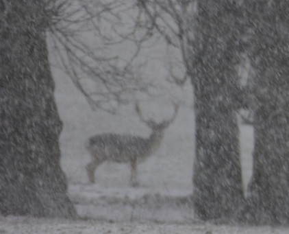 stag between trees, almost invisible in the snow